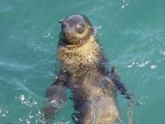 Seal watching people
